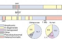 Dibujo20100113_Comparison_chimpanzee_and_human_Y_chromosomes