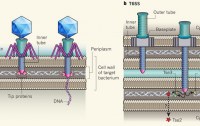 Dibujo20110720_Similar_injection_systems_bacteriophage_T4_and_t6ss_system