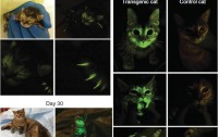 Dibujo20111209_Transgenic_kittens_Ambient_light_and_485_nM_light–illuminated_images_showing_GFP_signal