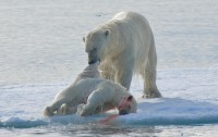 Dibujo20111216_Cannibalism_on_Ice_Inuit_hunters_know_polar_bears_kill_younger_for_food