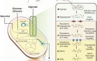Dibujo20120120_Design_microbial_platform_E_coli_production_biofuels_renewable_commodity_chemical_compounds_macroalgae