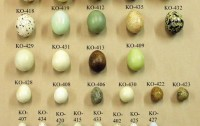 Dibujo20120404 KO-400 Set of 36 eggs