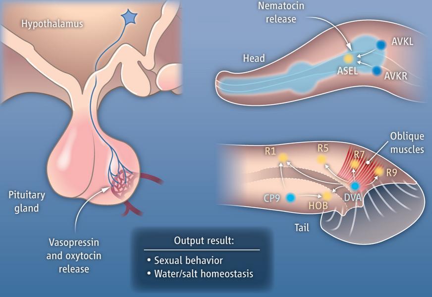 diferencia entre hormonas esteroides y no esteroideos