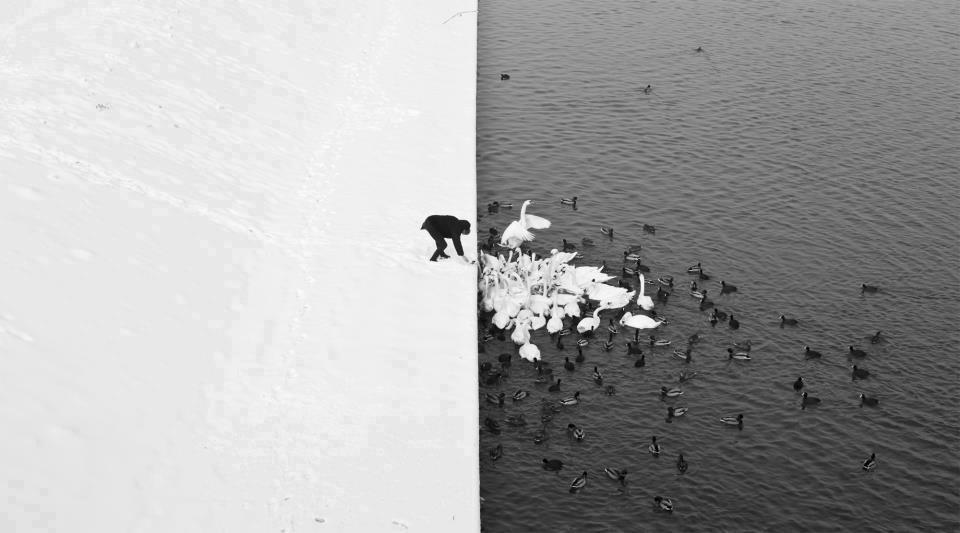 Dibujo20130508 Marcin Ryczek photograph -  hombre alimentando cisnes y patos - rio de Cracovia