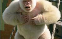 Dibujo201300608 gorilla gorilla - copito de nieve - bmc paper