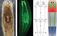 Dibujo20130713 planaries - brain - eyes - regeneration by adult stem cells - neoblasts