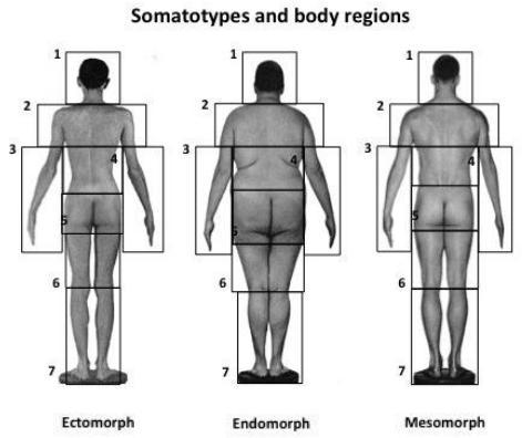 Dibujo20131204 somatotypes and body regions - ectomorph - endomorph - mesomorph - sciencedirect