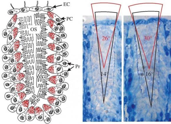 Dibujo20140115 Morphology of the starfish eye - visual field of a starfish compound eye