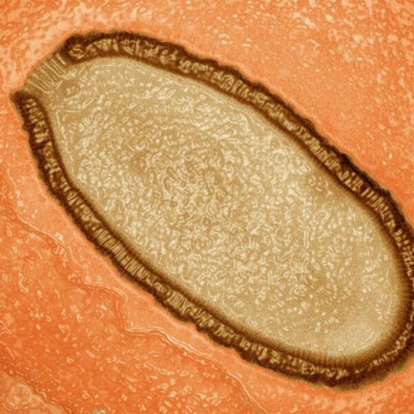 Dibujo20140304 pithovirus sibericum inside amoeba - pnas org