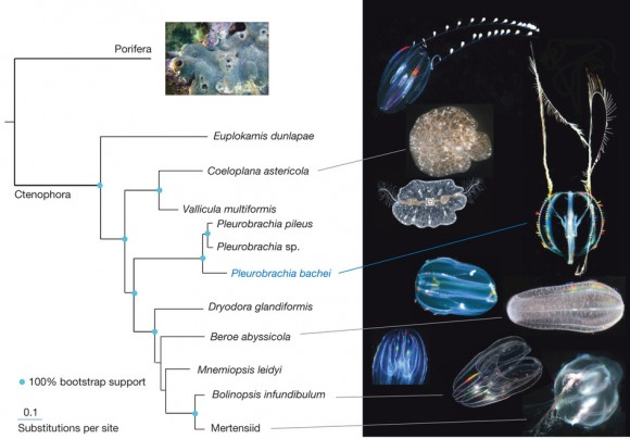 Dibujo20140521 Phylogenomic reconstruction among major ctenophore lineages - nature