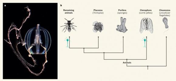 Dibujo20140521 evolutionary origin of nerve systems - nature