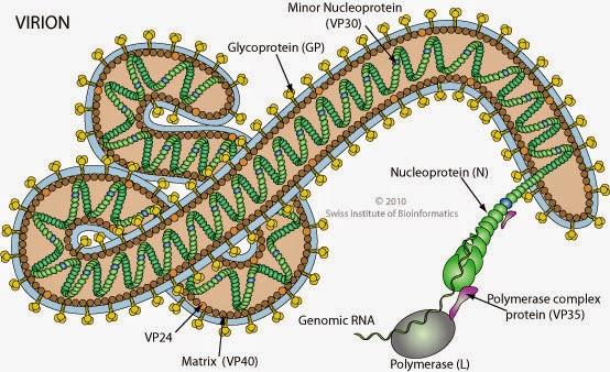 Dibujo20141012 Filovirus virion - swiss institute bioinformatics