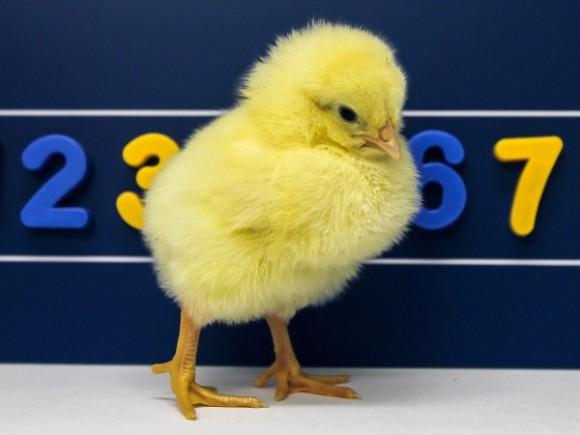 Dibujo20150130 chicks - mental number line - science mag