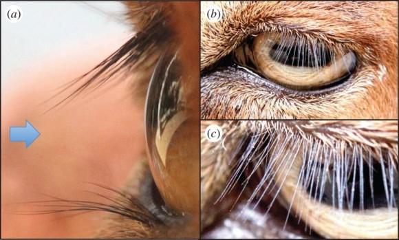 Dibujo20150305 The mammalian eye - goat Capra aegagrus hircus - rsif royalsociety