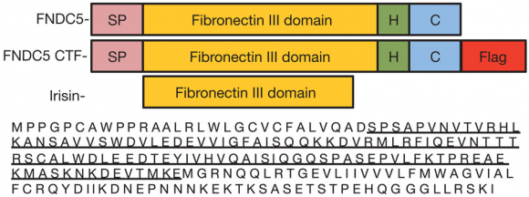 Dibujo20150420 FNDC5 is proteolytically cleaved and secreted from cells - full-length FNDC5 and irisin fragment