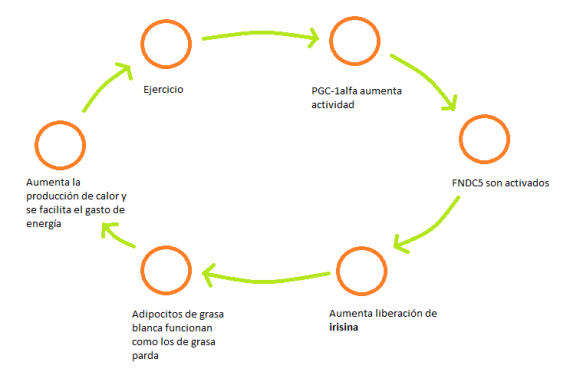 Dibujo20150420 Irisina y ejercicio - wikipedia commons