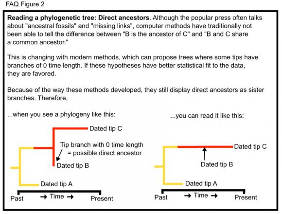 Dibujo20151228 direct_ancestors phylo wikidot com matzke 2015