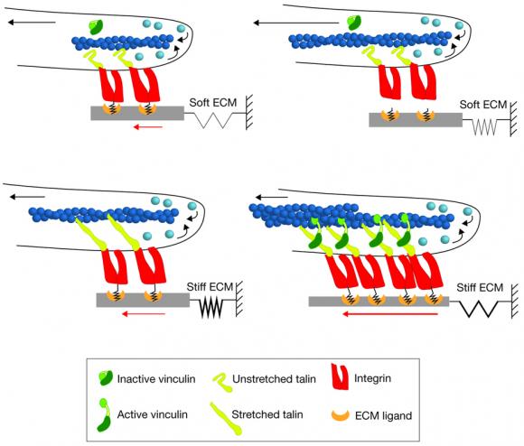 Dibujo20160427 soft stiff ecm Roca-Cusachs model molecular clutch - nature ncb3350-f1