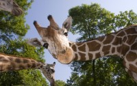 Dibujo20160518 Giraffe Neck blogs discovermagazine com shutterstock 80823655