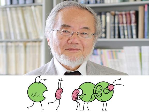dibujo20161002-authophagy-yeast-yoshinori-osumi-tokyo-institute-of-technology