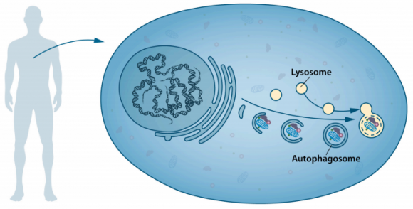 dibujo20161003-autophagosome-engulfs-cellular-contents-and-fuses-with-lysosomes-for-digestion-of-cellular-contents