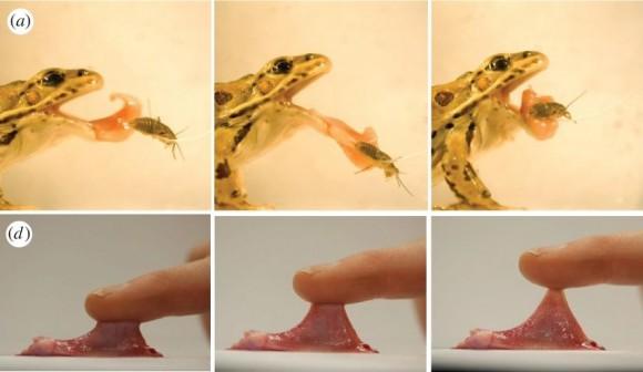 Dibujo20170205 Frog tongue projection Prey capture by Rana pipiens rsif royalsocietypublishing org 20160764