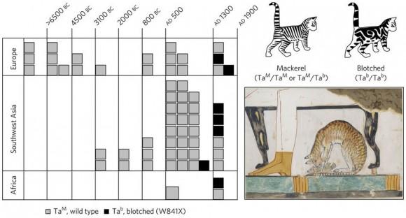 Dibujo20170620 Spatio-temporal representation alleles phenotypic variation shape tabby pattern nature ecol evol s41559-017-0139-f2