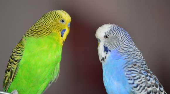 Dibujo20171012 yellow blue budgerigars pxhere com photo 621598