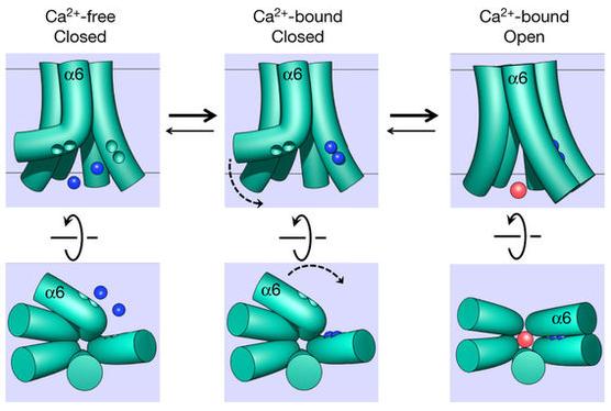Dibujo20171222 Activation mechanism calcium-activated chloride channel TMEM16A nature24652