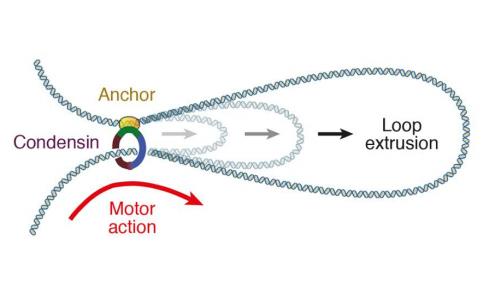 Dibujo20180223 condensin anchor motor action DNA looping sciencemag science aar7831