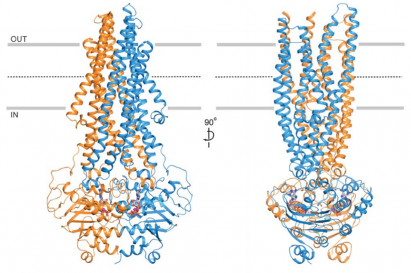 Dibujo20180223 overall structure E556Q E1201Q Pgp in complex with ATP sciencemag 359 6378 915