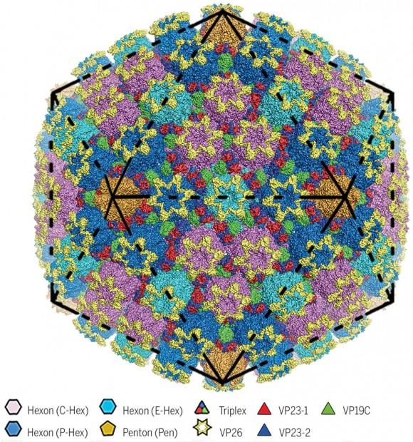 Dibujo20180407 HSV-2 capsid virus sciencemag 360 6384 eaao7283 F1