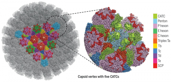Dibujo20180407 Structure of the HSV-1 capsid with capsid-associated tegument proteins sciencemag 360 6384 eaao7298