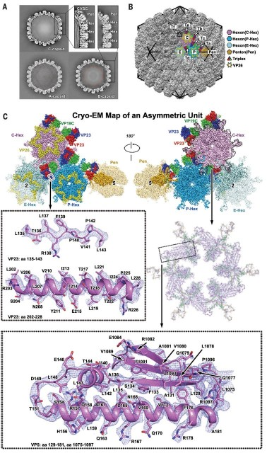 Dibujo20180407 details HSV-2 capsid virus sciencemag 360 6384 eaao7283 F2