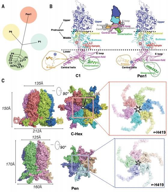 Dibujo20180407 other details HSV-2 capsid virus sciencemag 360 6384 eaao7283 F3
