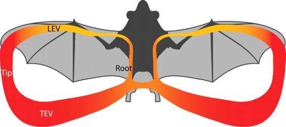 Dibujo20160430 bat stop flight aerodynamics science mag