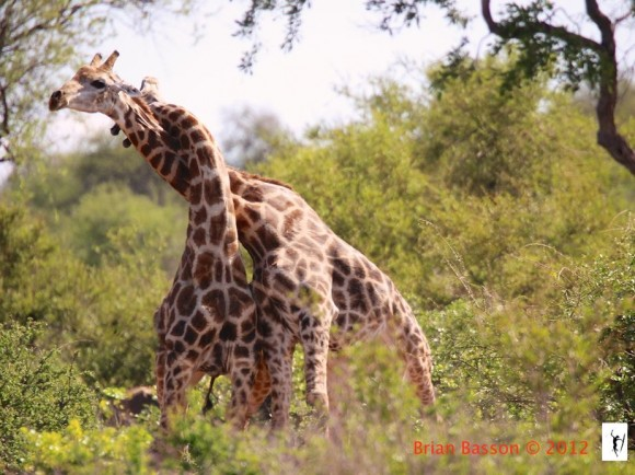 Dibujo20140716 necking giraffe fight - brian basson 2012