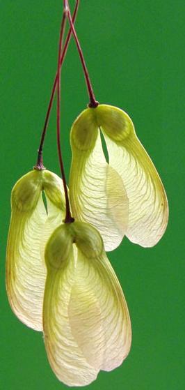 Dibujo20090614_maple_seed_shape_like_a_moth