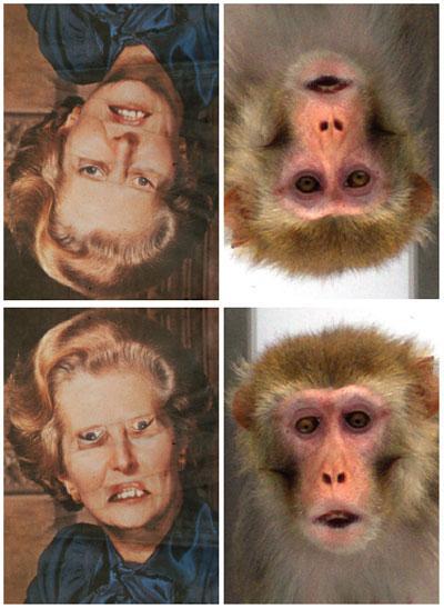 Dibujo20090709_thatcher_effect_rhesus_monkeys_both_tatcherized_photos