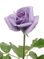 Dibujo20091020_blue_rose_suntory_flowers_limited_announced