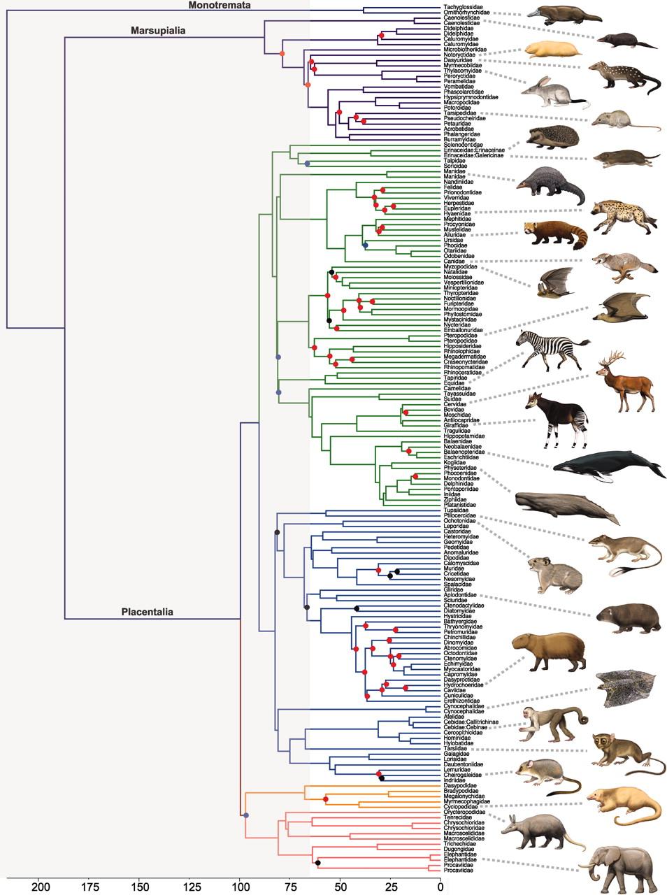 Genética de poblaciones humanas. Árboles filogenéticos Dibujo20111028_new_phylogenetic_time_tree_of_mammalian_families_published_in_science