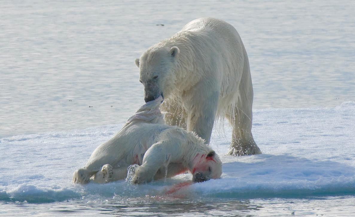 El Canibalismo De Los Osos Polares Y El Cambio Climatico La