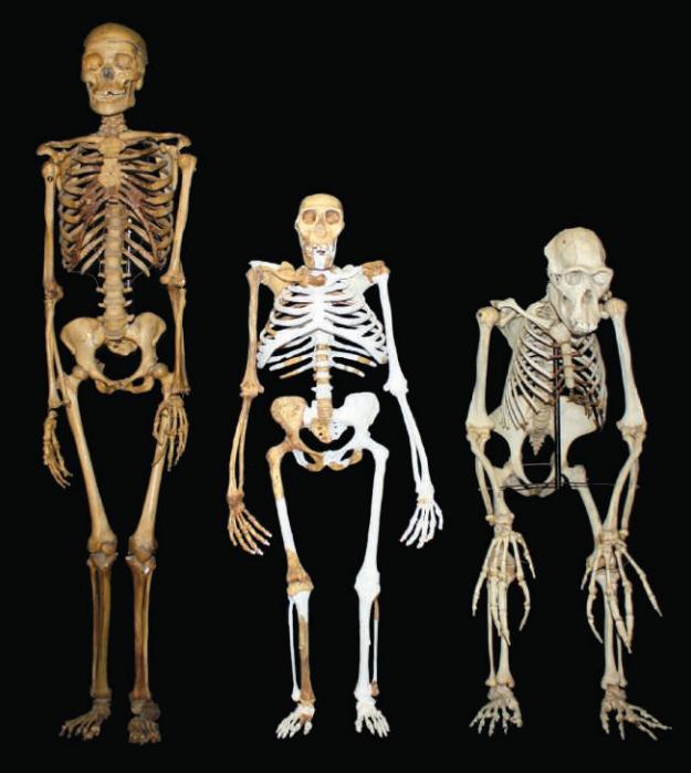 Dibujo20130414 Australopithecus sediba reconstruction - compared to small-bodied female modern Homo sapiens and male Pan troglodytes