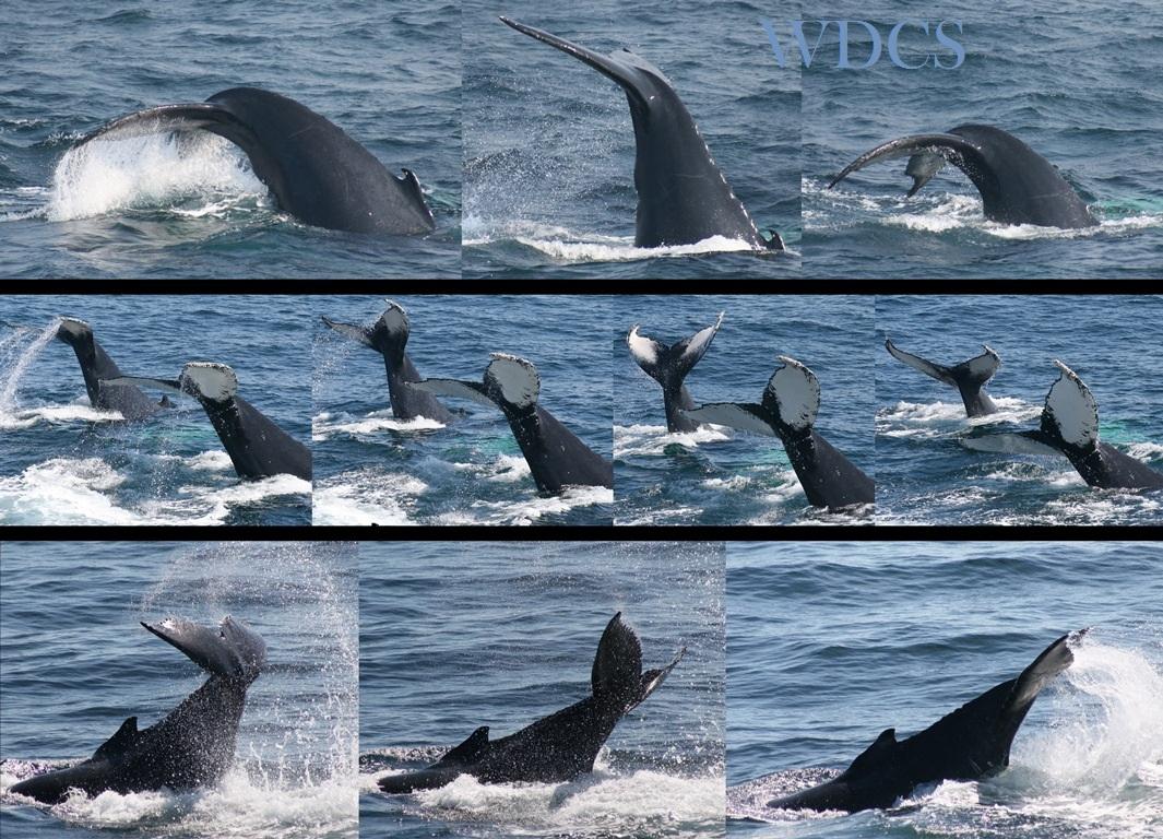 Dibujo20130427 lobtail in humpback whales - jennifer allen - whale center new england