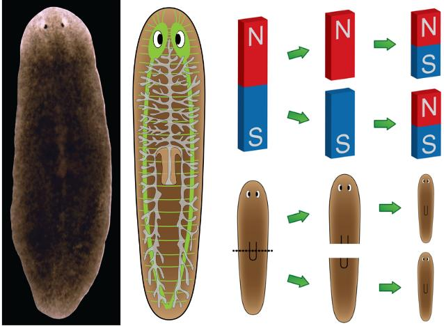 Dibujo20130713 Planaria restore their AP polarity similarly to bar magnets