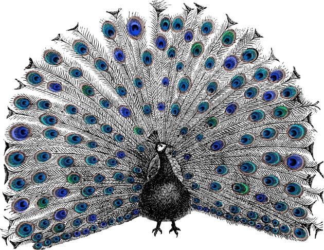 Dibujo20131017 nature special - peacock_colour - lynea shutterstock