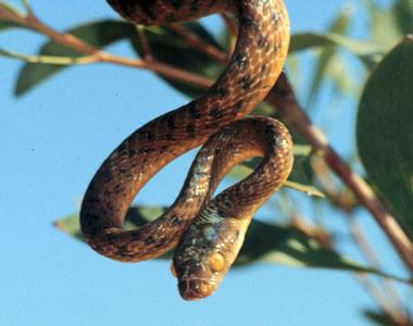 Dibujo20131206 brown tree snake - wikia com
