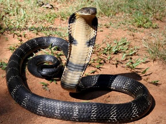 Dibujo20131206 king cobra - india - ecofriendlycoffee