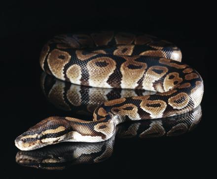 Dibujo20131206 secrets of snakes - science mag - henrik sorensen - getty images