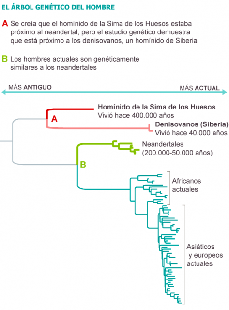 Dibujo20131207 Bayesian phylogenetic tree of hominin mtDNA Sima de los Huesos - nature elpais